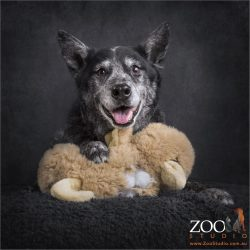 australian blue cattle dog with soft toy