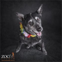 aloha lei wearing australian blue cattle dog