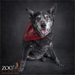red bandana on australian blue cattle dog