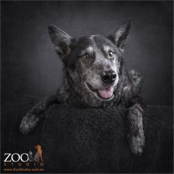 smiling australian blue cattle dog