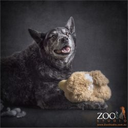 australian blue cattle dog happy with stuffed toy