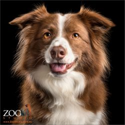 smiling pretty chocolate and white border collie