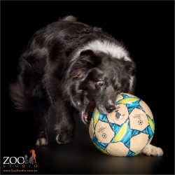 football fan black and white border collie