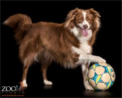 brown and white border collie with paw on soccer ball