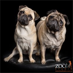 pair of fawn pug sisters