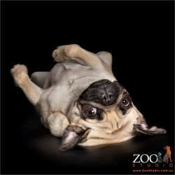 flopped on back relaxed fawn pug
