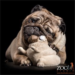 wrinkly pug chewing pug toy