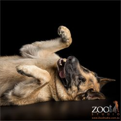 german shepherd lying on back