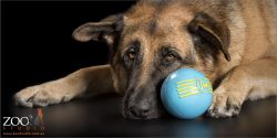 german shepherd lying next to blue ball