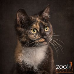 caramel coloured eyes tortoiseshell cat