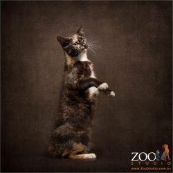 sitting on hind legs tortoiseshell domestic cat