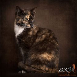 sitting side on looking over shoulder tortoiseshell cat