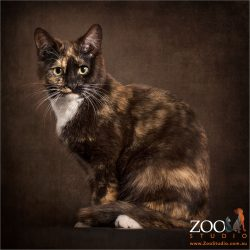 elegantly sitting tortoiseshell cat