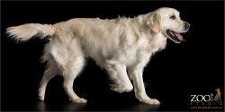 fluffy coat long tail white and cream golden retriever