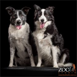 long haired and short haired pair of border collies