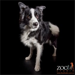 tail swishing black and white border collie