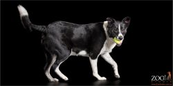 short haired border collie with green ball in mouth