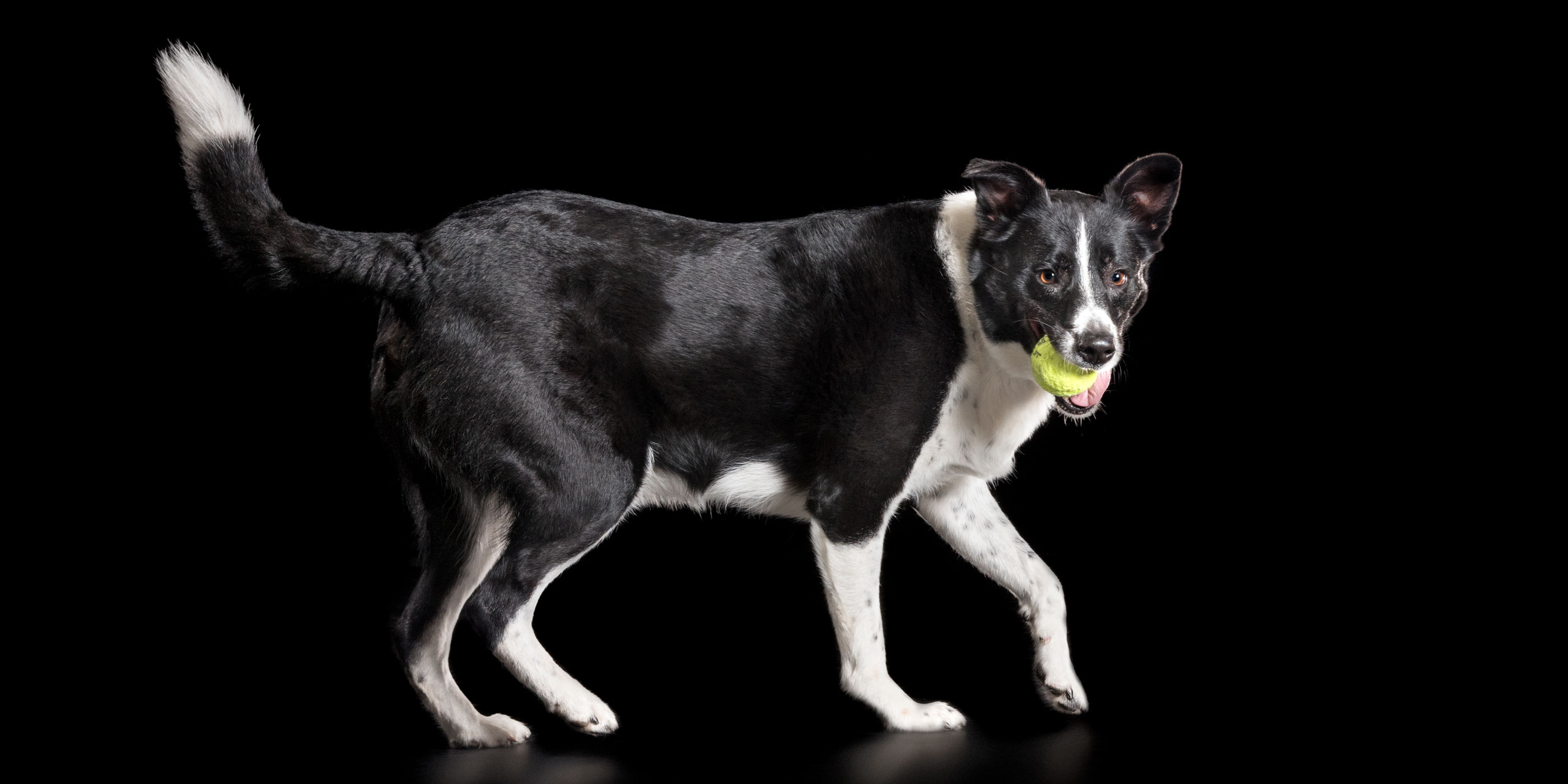 short haired black and white border collie with ball in mouth