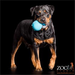 playful rottweiler with blue ball in mouth