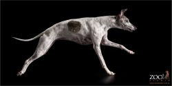 full stretch running brindle and white whippet