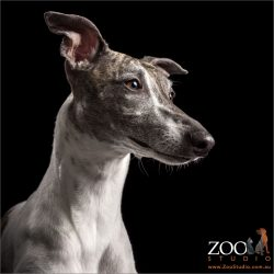 handsome profile brindle and white whippet