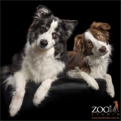 head tilting pair of border collie girls