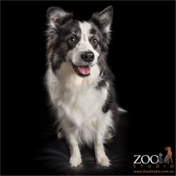 sitting and smiling black and white border collie