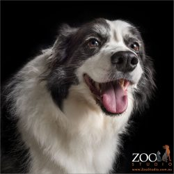 wide mouthed smile black and white border collie