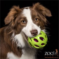 large green ball in brown and white border collie's mouth
