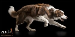 running fast brown and white border collie