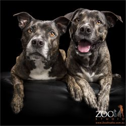 pair of brindle staffordshire bull terriers