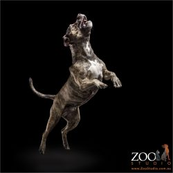 leaping brindle staffordshire bull terrier