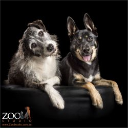 alert pair of mixed breed dogs sitting together