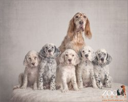 cream and brown english setter with five puppies
