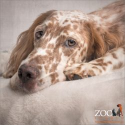 brown and cream english setter nose on ground between paws