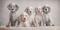 five adorable english setter puppies
