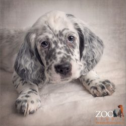 black and cream spotted english setter puppy