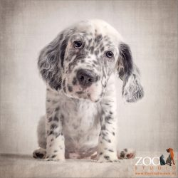 sitting sweetly english setter puppy
