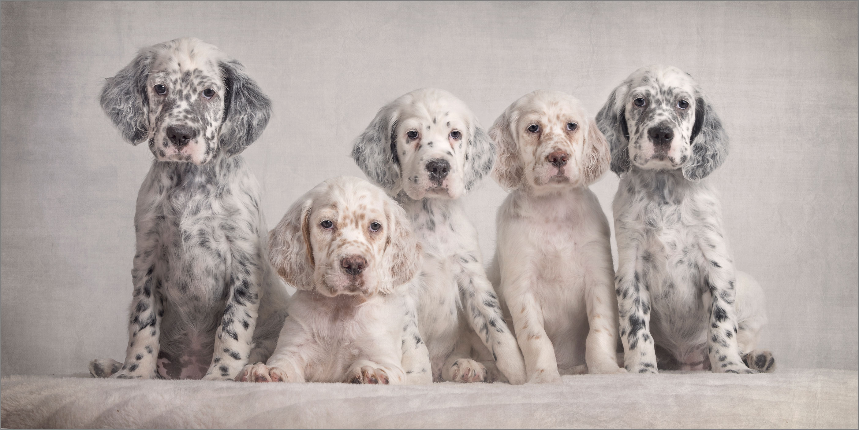 five gorgeous english setter puppies