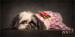 pretty in pink shis tzu cross