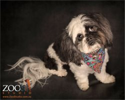 half in half back and white faced shih tzu cross