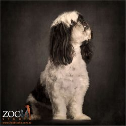 profile of black and white shih tzu cross