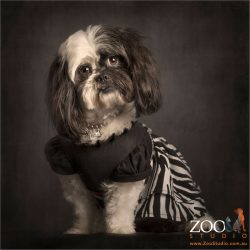 dressed to impress black and white shih tzu cross