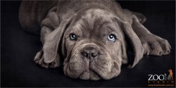 angelic blue eyed neo mastiff puppy