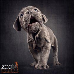 walking and talking blue neo mastiff puppy