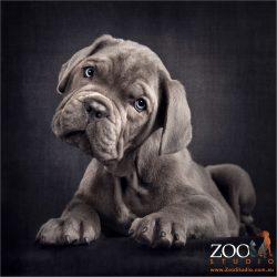 blue neo mastiff puppy adorable head tilt