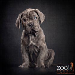 rolls of puppy fur blue neo mastiff