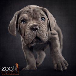 baby steps neo mastiff puppy