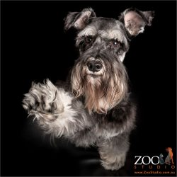 paws up miniature schnauzer