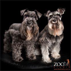 zz top style beards miniature schnauzers